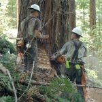 2 timber fallers working on a tall tree.
