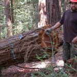 Timber faller setting the chocker cable around a log.