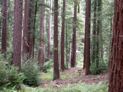 redwood trees in the forest