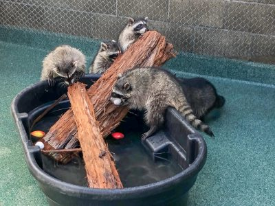 Raccoons climbing on bark in a tub of water