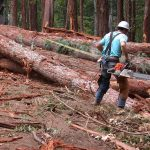 Logger measureing and limbing logs in a log landing